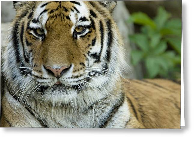 A Siberian Tiger At The Henry Doorly Greeting Card by Joel Sartore