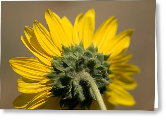 A Sunflower In Eastern Montana Greeting Card by Joel Sartore