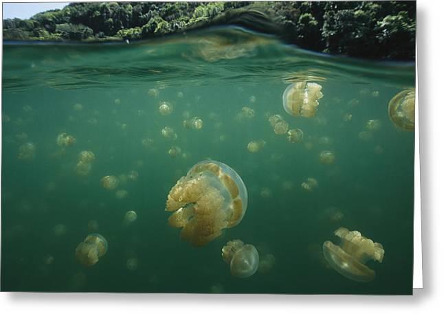 A Swarm Of Mastigias Species Jellyfish Greeting Card by Tim Laman