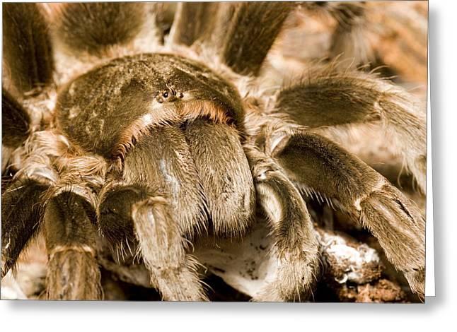 A Tarantula Living In Mangrove Forest Greeting Card by Tim Laman