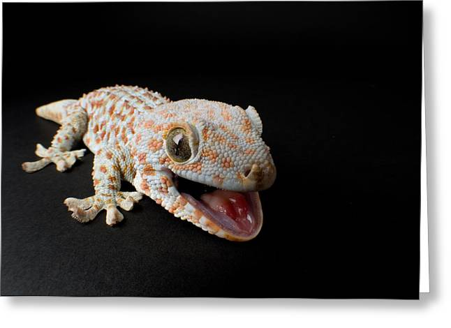 A Tokay Gecko Gekko Gecko At The Sunset Greeting Card by Joel Sartore