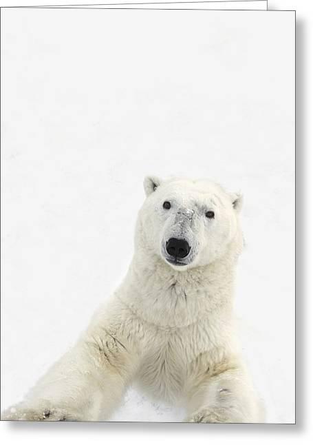 A Very Curious Polar Bear Ursus Greeting Card by Richard Wear