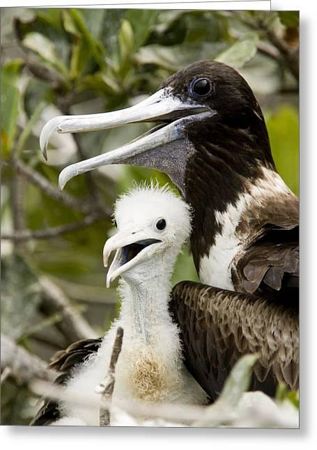 Adult Frigatebird Fregata Species Greeting Card by Tim Laman