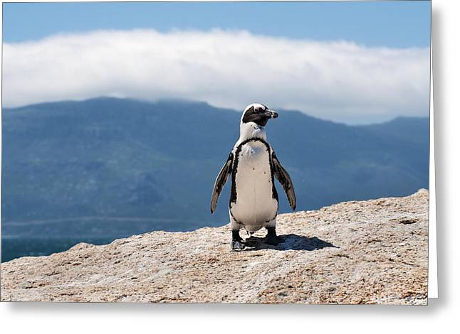African Penguin Greeting Card