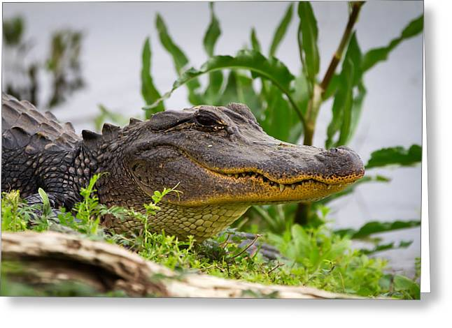 Alligator Greeting Card
