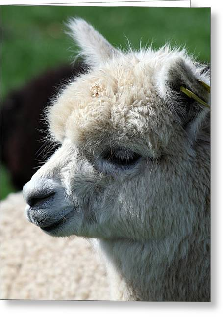 Greeting Card featuring the photograph Alpaca by David Harding