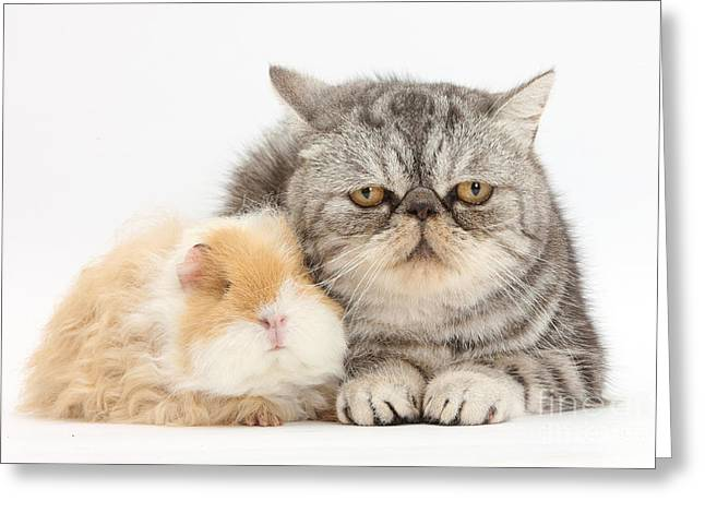 Alpaca Guinea Pig And Silver Tabby Cat Greeting Card by Mark Taylor
