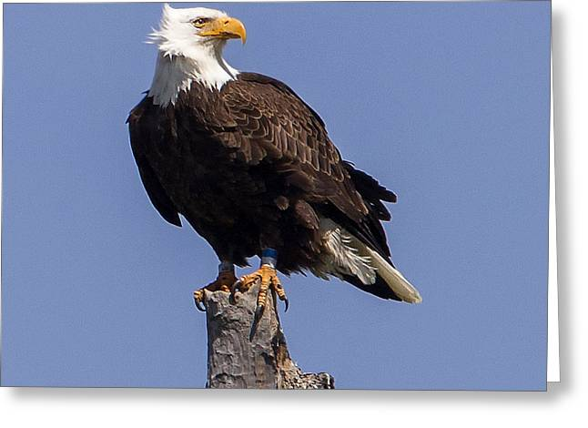 bald eagle render by - photo #21