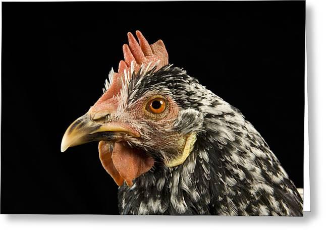 An Ancona Chicken At The Soukup Farm Greeting Card by Joel Sartore