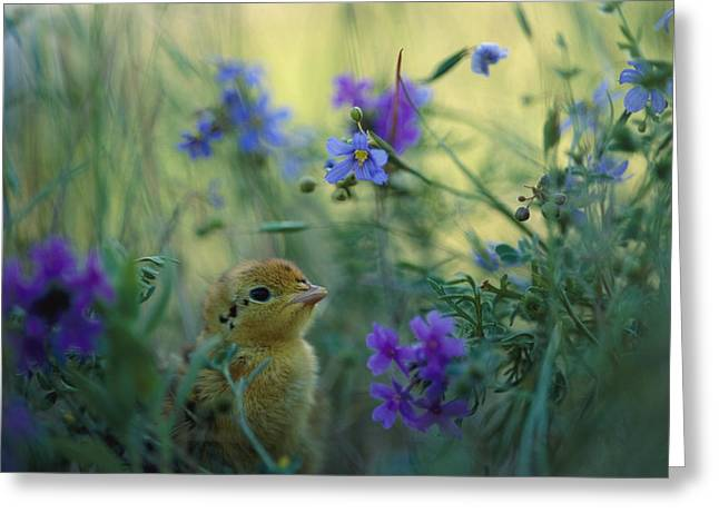 An Attwaters Prairie Chick Surrounded Greeting Card by Joel Sartore