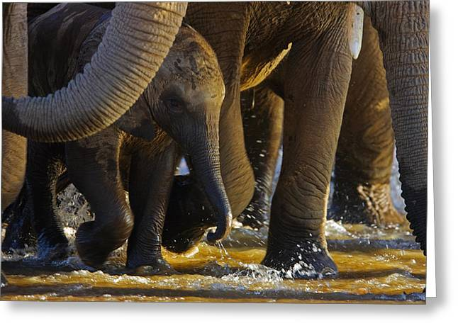 An Elephant Calf Finds Shelter Amid Greeting Card
