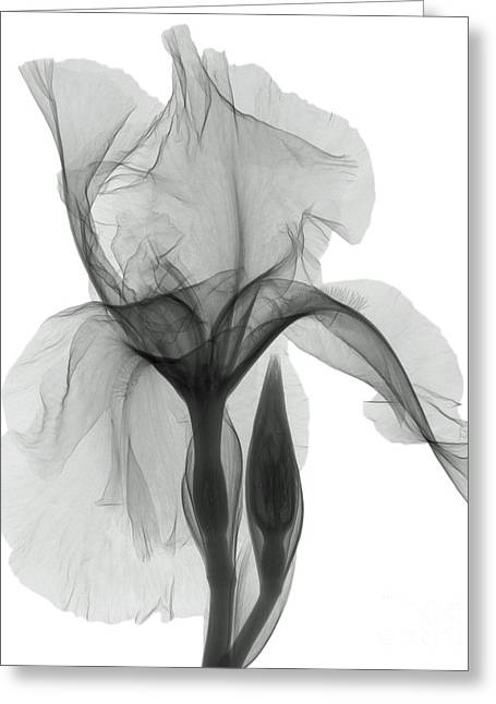An X-ray Of An Iris Flower Greeting Card by Ted Kinsman