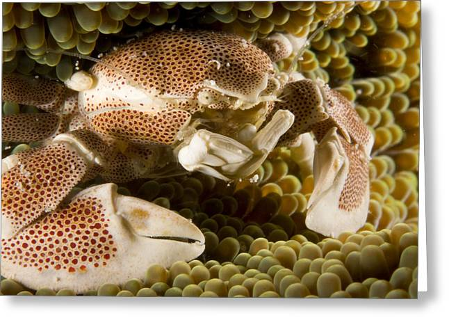 Anemone Or Porcelain Crab In Its Host Greeting Card