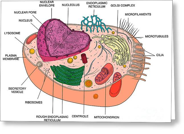Animal Cell Diagram Greeting Card by Science Source