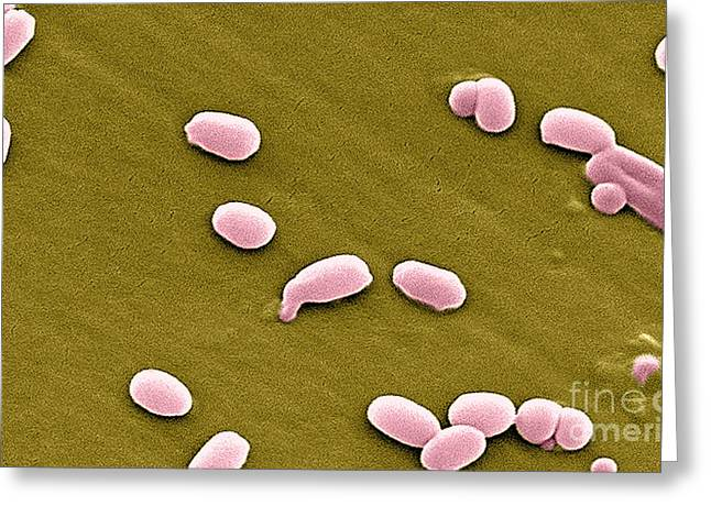 Anthrax Bacteria, Sem Greeting Card by Science Source