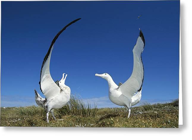 Antipodean Albatross Diomedea Greeting Card by Tui De Roy