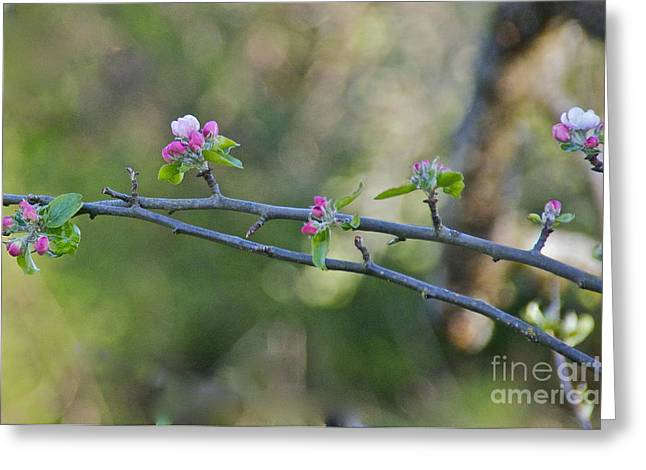 Apple Blossoms Greeting Card by Sean Griffin