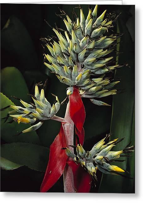 Atlantic Forest Bromeliad Brazil Greeting Card by Mark Moffett