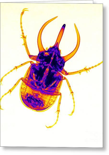 Atlas Beetle X-ray Greeting Card by Ted Kinsman