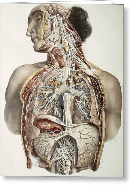 Autonomic Nerves, 1844 Artwork Greeting Card by