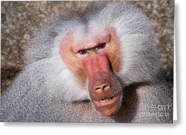Baboon Greeting Card by Andrew  Michael