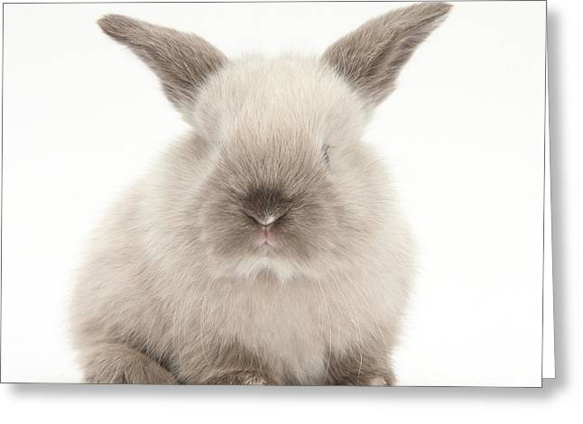 Baby Colorpoint Rabbit Greeting Card by Mark Taylor