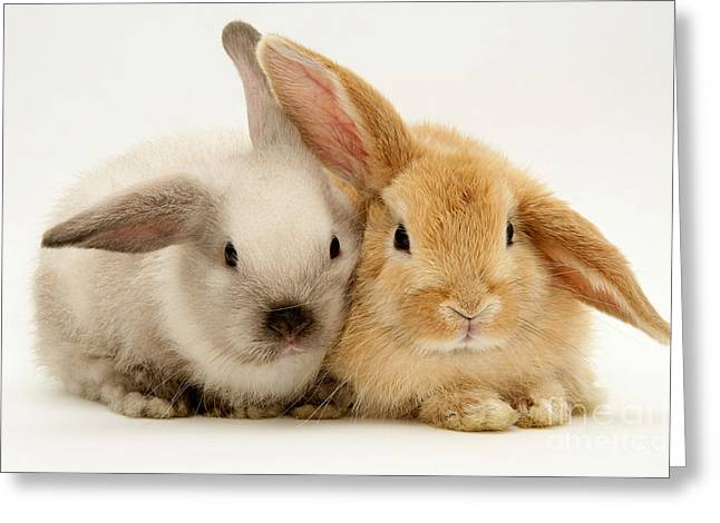 Baby Lop Rabbits Greeting Card by Jane Burton