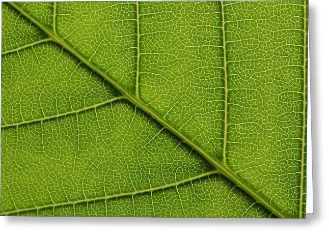Backlit Close Up Of A Sycamore Maple Greeting Card by Joe Petersburger