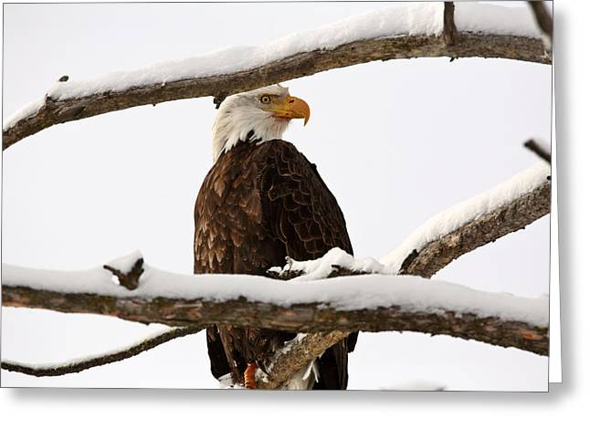 Bald Eagle Perched In Tree Greeting Card