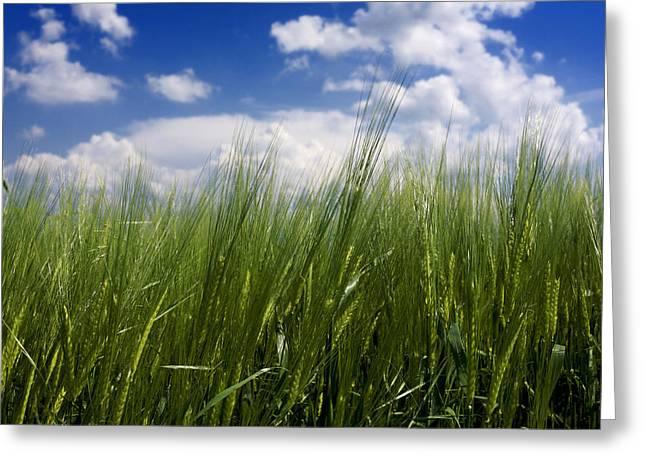 Barley Field  In Limagne. Auvergne. France Greeting Card by Bernard Jaubert