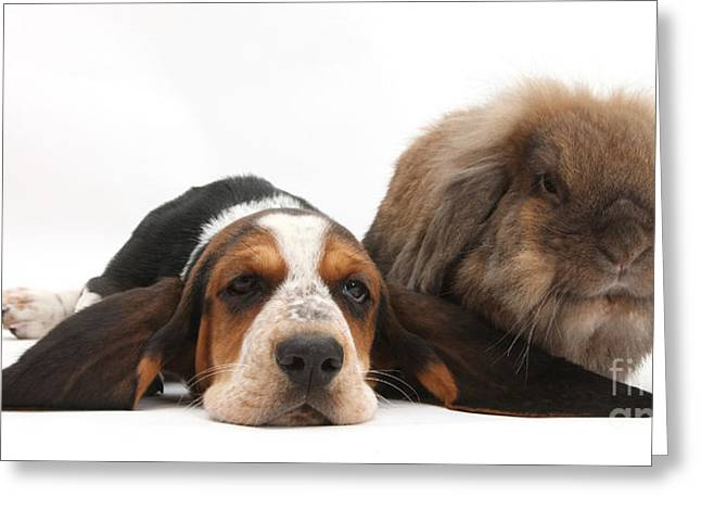 Basset Hound And Rabbit Greeting Card by Mark Taylor