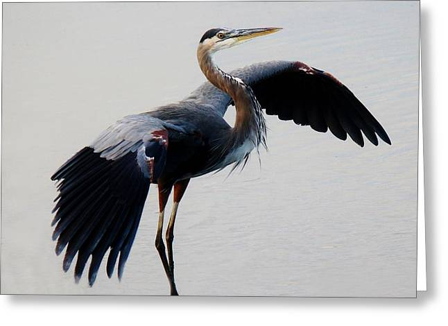 Beautiful Blue Heron Greeting Card by Paulette Thomas