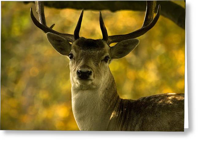 Greeting Card featuring the photograph Beautiful My Deer by John Chivers
