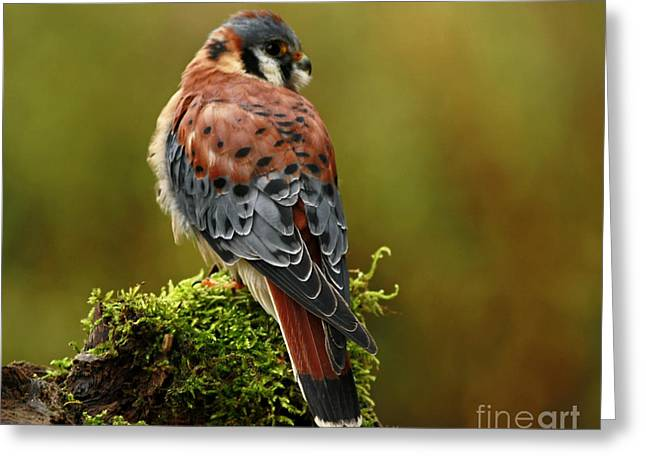 Beauty Of Autumn American Kestrel  Greeting Card by Inspired Nature Photography Fine Art Photography