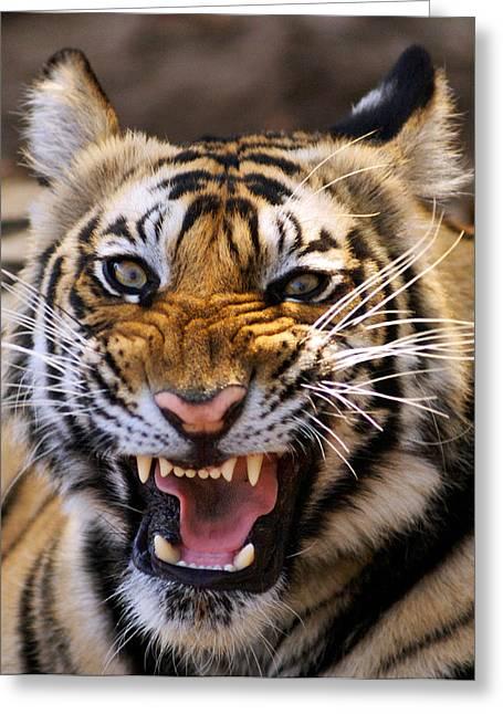 Bengal Tiger (panthera Tigris) Greeting Card by Louise Murray
