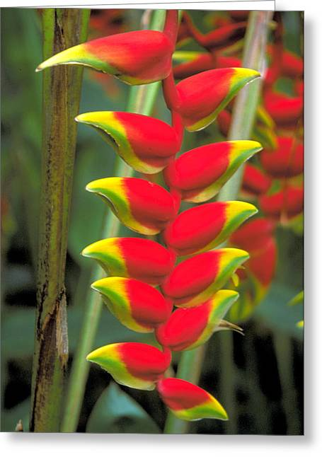 Bird Of Paradise Greeting Card by Carl Purcell