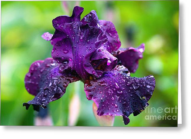 Greeting Card featuring the photograph Black Iris by Gina Cormier
