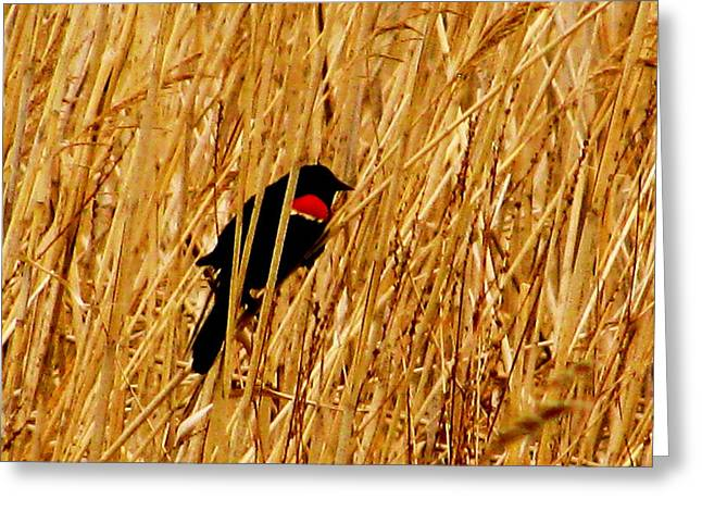 Blackbird In The Reeds Greeting Card