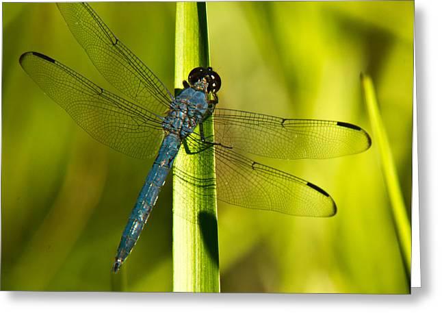 Blue Dragonfly 19 Greeting Card by Douglas Barnett