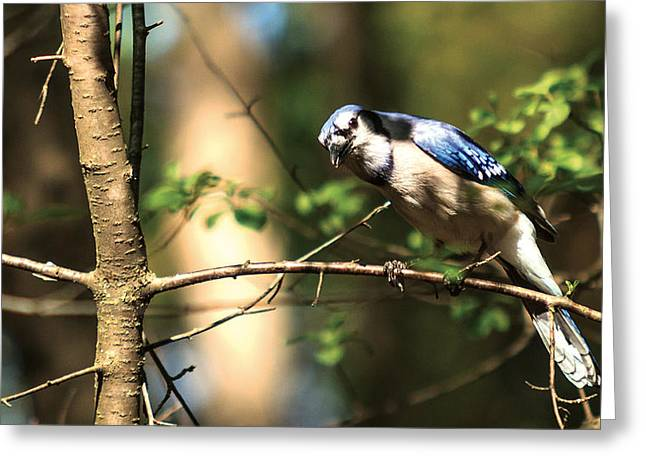 Greeting Card featuring the photograph Blue Jay by Josef Pittner