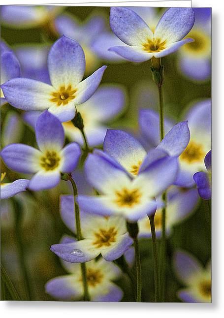 Blue Quaker Ladies Greeting Card by Thomas J Martin
