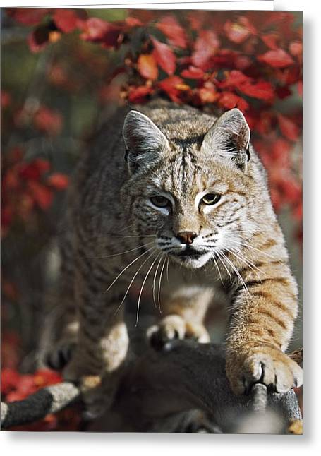 Bobcat Felis Rufus Walks Along Branch Greeting Card