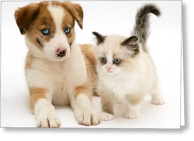 Border Collie And Birman-cross Kitten Greeting Card