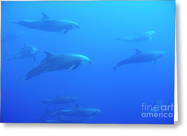 Bottle-nosed Dolphins Greeting Card by Sami Sarkis