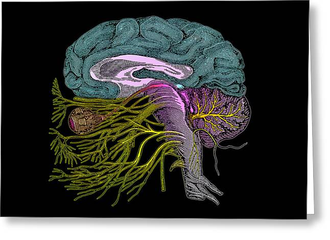 Brain Anatomy Greeting Card by Mehau Kulyk