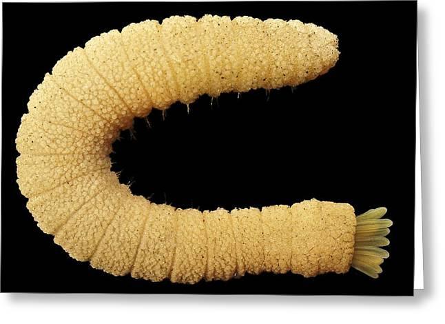 Bristle Worm Greeting Card