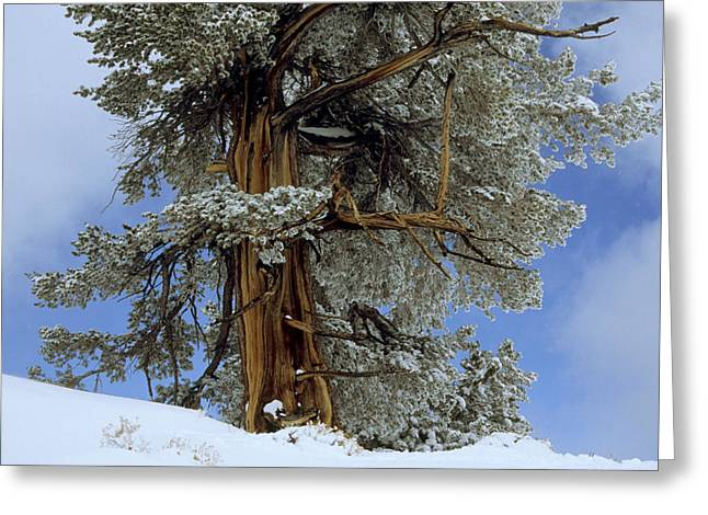 Bristlecone Pine Tree Blanketed In Snow Greeting Card by Tim Laman