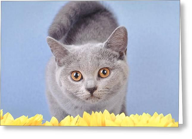 British Shorthair Kitten Greeting Card by Waldek Dabrowski