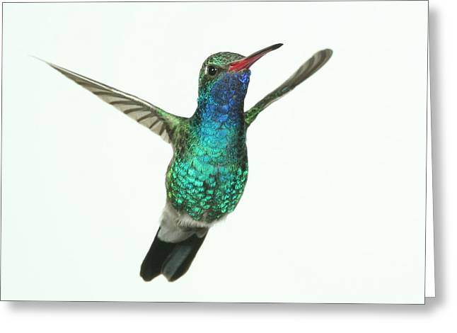 Broadbill Hummingbird Greeting Card by Gregory Scott