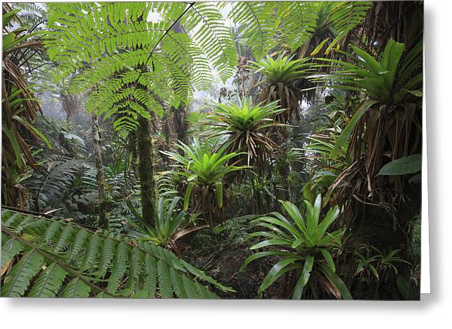 Bromeliad Bromeliaceae And Tree Fern Greeting Card by Cyril Ruoso